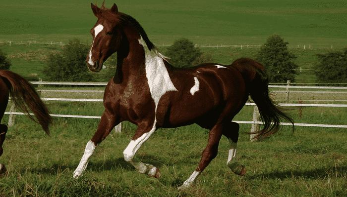 cuanto vale un caballo de polo