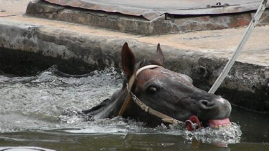 caballos-de-polo-preparación